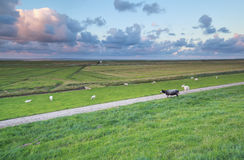 Sheep on pasture at Wadden sea coast Stock Photo