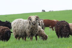 Sheep on the pasture Royalty Free Stock Image