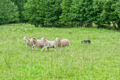 Sheep on the pasture Royalty Free Stock Photo