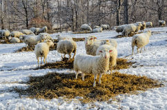 Sheep in Pasture in Winter Stock Photography