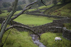 Sheep on pasture in Yorkshire Dales Yorkshire England Royalty Free Stock Image