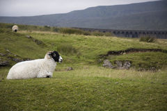 Sheep on pasture  Yorkshire Dales Yorkshire England Royalty Free Stock Photos