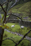Sheep on pasture in Yorkshire Dales Yorkshire England Royalty Free Stock Photography