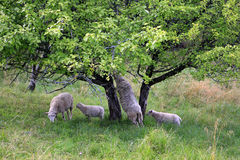 Sheep in pastureland Royalty Free Stock Images