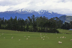 Sheep Pastures New Zealand Stock Images