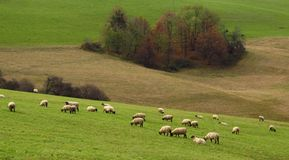 Sheep pasturing in the mountains Stock Image