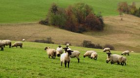 Sheep pasturing in the mountains Royalty Free Stock Photo