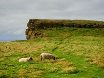 Sheep pasturing on top of a cliff, Orkney islands, Scotland. On an overcast day and with some yellow grass due to heat at the end of summer Stock Image