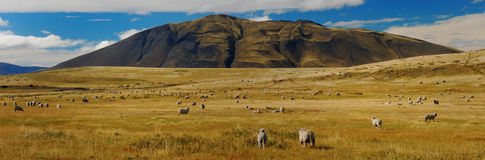 Sheep in Patagonia. Close to Torres del Paine, Chile, South America Stock Image