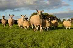 Sheep patrol. Group of sheep heading for the camera in patrol formation Stock Photo