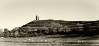 Sheep peacefully graze at Glastonbury Tor in Somerst England. Sheep peacefully graze in a meadow in the shadow of the mystical ancient tower on Glastonbury Tor stock images