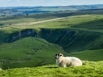 Sheep in Peak Destrict in England Royalty Free Stock Photos