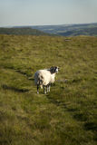 Sheep in the Peak District Royalty Free Stock Photography