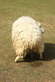 Sheep peeing Royalty Free Stock Photography
