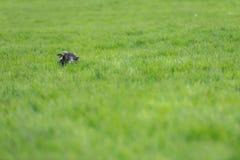 Sheep peeking at the camera. Royalty Free Stock Photos