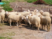 Sheep in pen. Sheep grouped together in their pen in Kaya Koy, Turkey Stock Photos