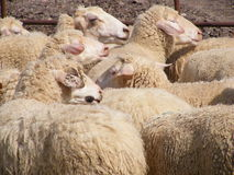 Sheep in pen Stock Images