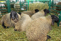 Sheep pen Royalty Free Stock Photos