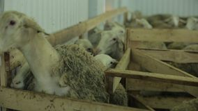 Sheep pen stock footage