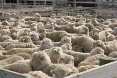 Sheep in pen. A pen full of sheep at the Feilding stockyards in New Zealand Stock Photo