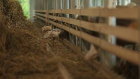 Sheep pen stock video footage