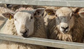 Sheep in pen. Royalty Free Stock Image