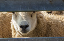 Sheep in pen. Royalty Free Stock Photo