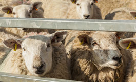 Sheep in pen. Stock Image