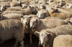 Sheep in pen. Royalty Free Stock Photos