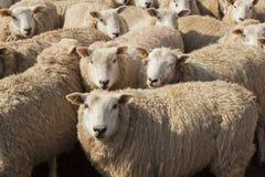 Sheep in pen. Stock Photo