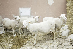 Sheep in pen Royalty Free Stock Images