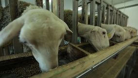 Sheep pen stock video