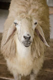 A sheep in pen Stock Image