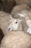 Sheep in Pen Prior to Shearing Stock Images