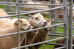 Sheep in Pen Stock Photography