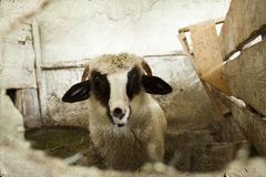 Sheep in pen Royalty Free Stock Photography