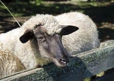 The sheep in pens Stock Photos