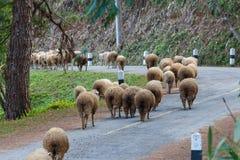 Sheep, pets. Stock Photo