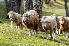 Sheep, pets. Stock Image