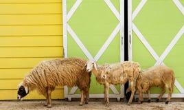 Sheep Pham Stock Photos