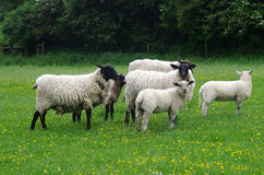 Sheep. Photo of sheep in England Royalty Free Stock Image