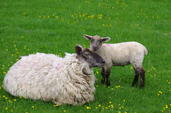 Sheep. Photo of sheep in England Royalty Free Stock Photography