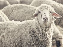 Sheep. Photo of a sheep looking at the camera Royalty Free Stock Images