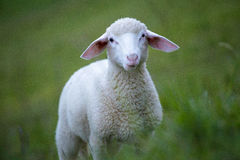 Sheep. Photo of a young sheep chewing some grass Stock Photo