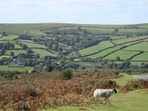 Sheep with picturesque meadows in England. Sheep in foreground sets off lovely moors in Devon area of England royalty free stock image