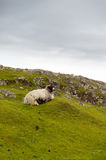 Sheep and picturesque pastures, Rodel, Outer Hebrides Stock Photos