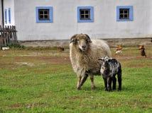 Sheep piebald lamb Royalty Free Stock Photo