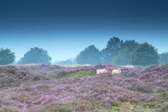 Sheep in pink heather. Flowers stock photography