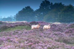 Sheep on pink pasture with heather. Flowers royalty free stock photography