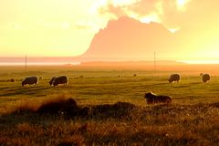 Sheep in a plain at the foot of the mountains of iceland Stock Photography